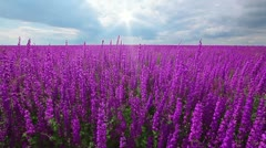 Field of flowering spikes and cloudy sky Stock Footage
