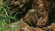 Stock Video Footage of grass snake - ringed snake - natrix natrix moving in stub 02i