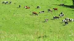 Herd of cattle in the meadow Stock Footage