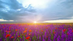 field of flowers at sunset - stock footage
