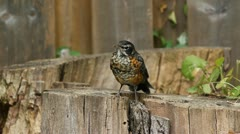 Young American Robin. Stock Footage