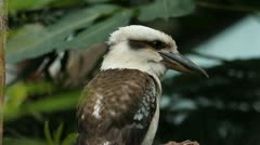 Kookaburra. Stock Footage