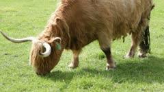 Highland Cow Grazing, Scotland Stock Footage