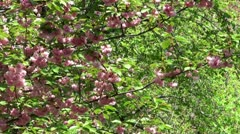 Blossoms of the oriental cherry tree. Stock Footage