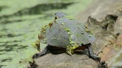 Painted Turtle Stock Footage
