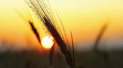 rain drops on the ear of wheat - the sunset - stock footage