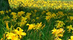 Daylily flower field of yellow Stock Footage