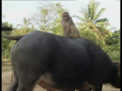 Monkey riding on buffalo Stock Footage