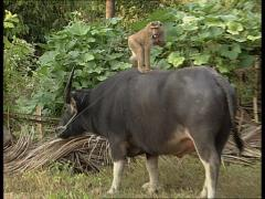 Monkey eating on back of ox Stock Footage