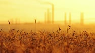 Ears of wheat at sunset Stock Footage