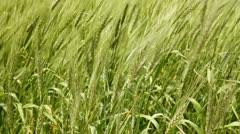 Balearic green wheat field in Formentera island focus in foreground Stock Footage