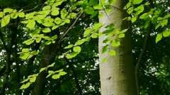 Stock Video Footage of Beech Tree branch catching sunlight.
