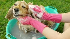 Washing Dog Ears and Head (HD) - stock footage