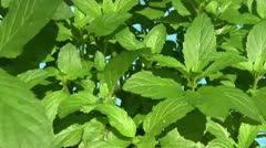 Peppermint plant rotating Stock Footage