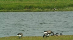 Grazing Brent Geese Stock Footage