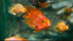 Goldfish - stock footage