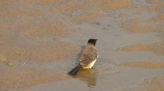 Bird Blackeyed Bulbul bathing Stock Footage