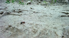 Red wood ant (Formica rufa) Stock Footage