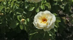 Rose yellow and bud on garden plant P HD 0363 Stock Footage