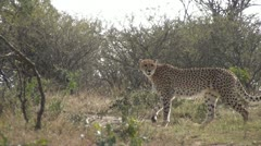 Cheetah walking through foliage and looking around - stock footage