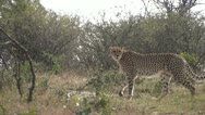 Stock Video Footage of Cheetah walking through foliage and looking around