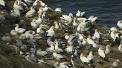 Gannet colony Stock Footage