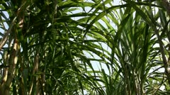 Sugar cane Stock Footage