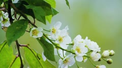 Bird-cherry tree (Prunus Padus) with spring flowers blooming Stock Footage