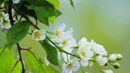 Stock Video Footage of Bird-cherry tree (Prunus Padus) with spring flowers blooming
