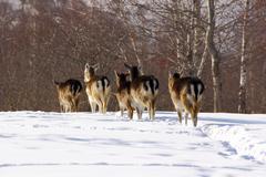 fallow deer herd - stock photo