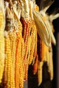 suspended maize - stock photo