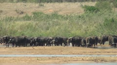 Buffalo herd drinking at the river Stock Footage