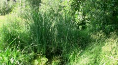 Sedge grass in a small river Stock Footage
