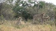 Mother cheetah with her cubs Stock Footage