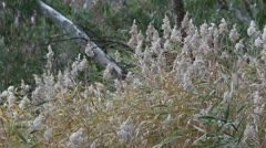Reed grass moving in the wind in Marma State Forest, Lubeck, Victoria, Australia Stock Footage