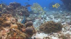 Porkfish, Parrotfish Stock Footage