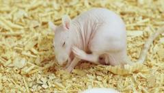 Hairless Rat Scratching Skin (HD) Stock Footage