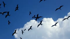 Fragata flock of frigate birds flying group over blue sky Stock Footage