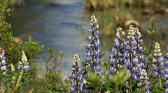 Purple Lupines against Beautiful Mountain Creek Stock Footage