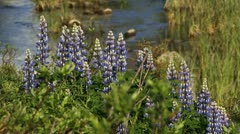 Summer Lupine Flowers and Flowing Brook Stock Footage