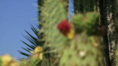 Cactus with flower Stock Footage