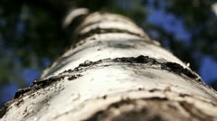 Birch bark - stock footage