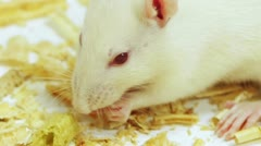 White Rat Eating Close Up (HD) Stock Footage