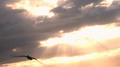 Albatrosss flies in the clouds of setting sun Kauai Hawaii Stock Footage