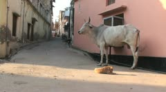 Rewari Cow Stock Footage