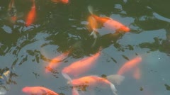 Beautiful koi fish Stock Footage