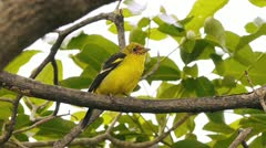 Western Tanager Bird (HD) Stock Footage