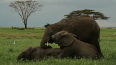 Baby elephants playing Stock Footage