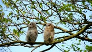Two juvenile nightowls in a tree Stock Footage
