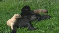 Mother dog and her puppies on grass Stock Footage